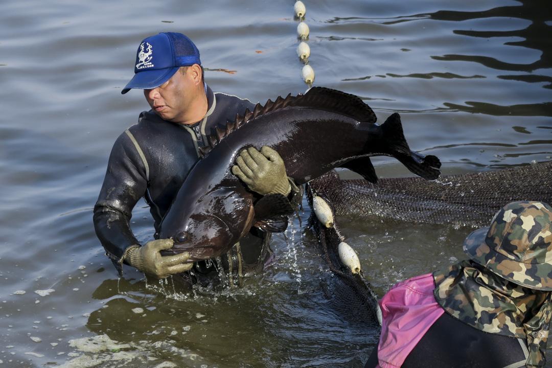 台灣石斑不只養殖技術好,產值也很高,擁有「石斑王國」之稱。根據FAO統計資料,自全球石斑魚生產數據來看,亞洲撈捕產量占全球88%、養殖產量則為100%,堪稱「亞洲專用」的料理食材。 攝影:羅盛達
