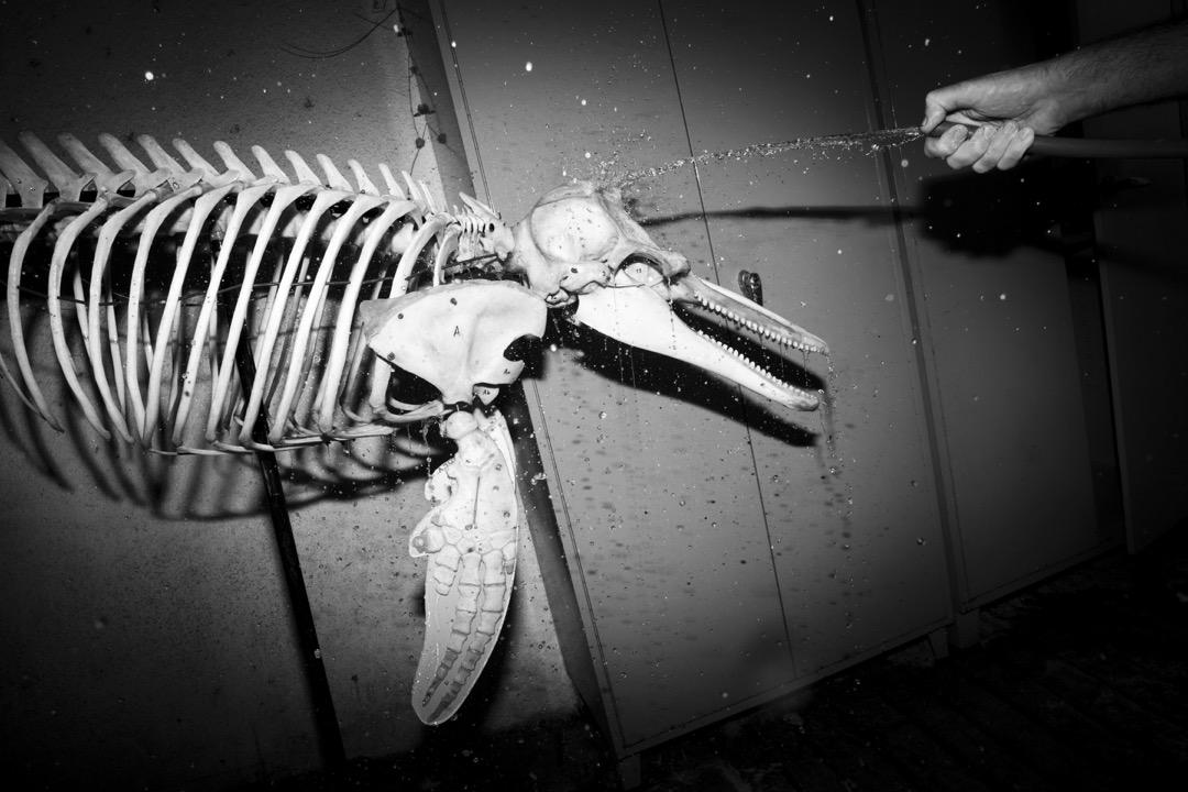 標本製作者Igor Gavrilov正在清潔一副即將展出的海豚骨骼。