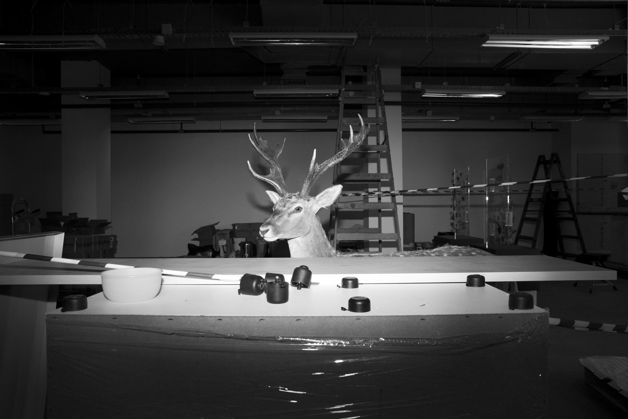 一個鹿子標本正等候被搬運到展覽位置。