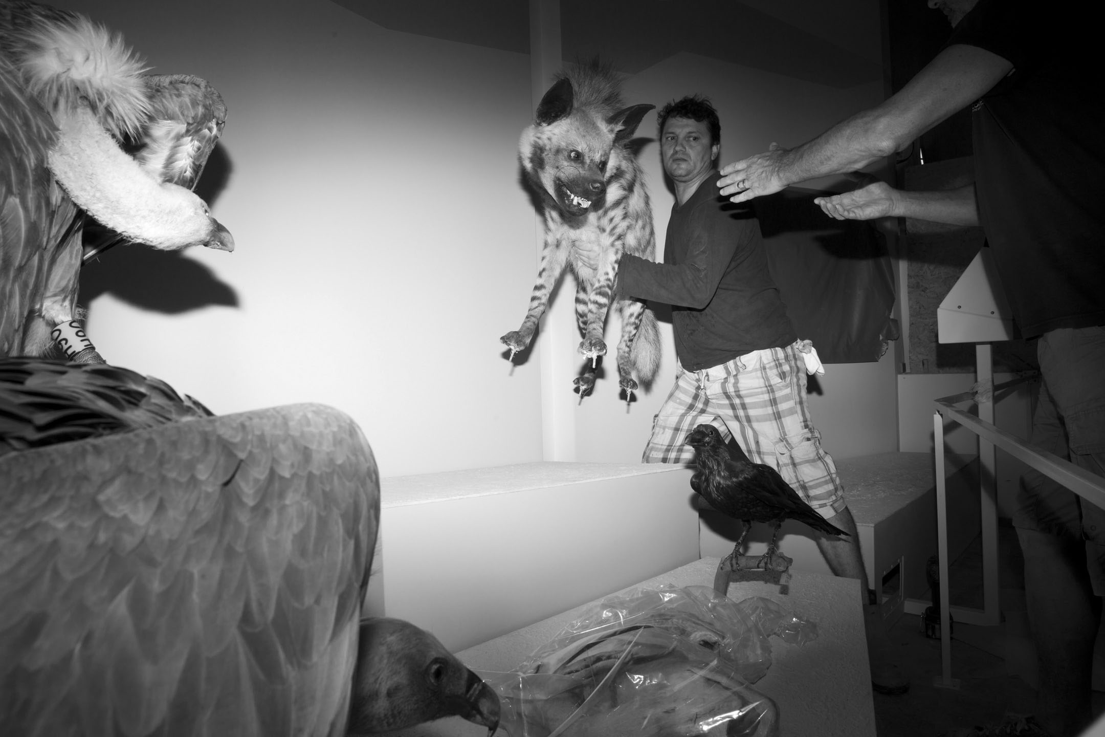 標本製作人Igor Gavrilov正在搬遷一隻鬣狗標本的展覽位置。 攝:Oded Balilty/AP