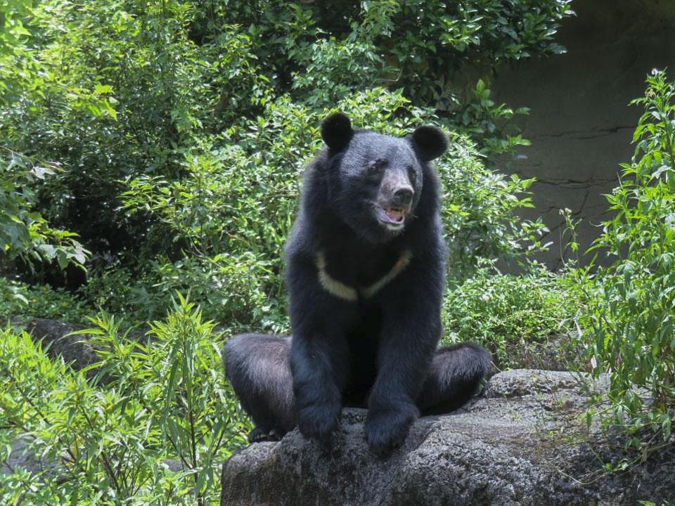 早在1989年,台灣行政院農業委員會就公告台灣黑熊為保育類動物,等級是最嚴重的「瀕臨絕種」。2011年,由台北市立動物園主責,啟動了「台灣黑熊復育計畫」,希望將全台收容的黑熊集中在一處,進行人工復育。 圖片來源:台北市立動物園
