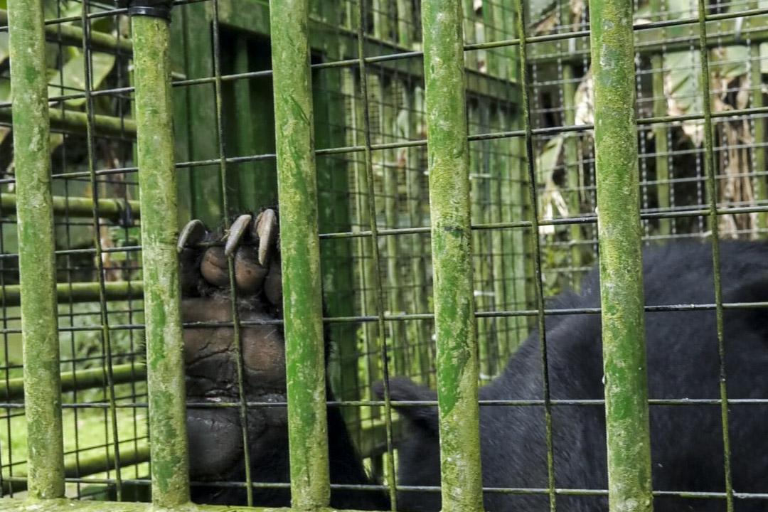 黑熊在籠內飼養長達十幾甚至二十多年,會造成圈養動物常見的焦慮和刻板行為,對復育工作也增加了挑戰。