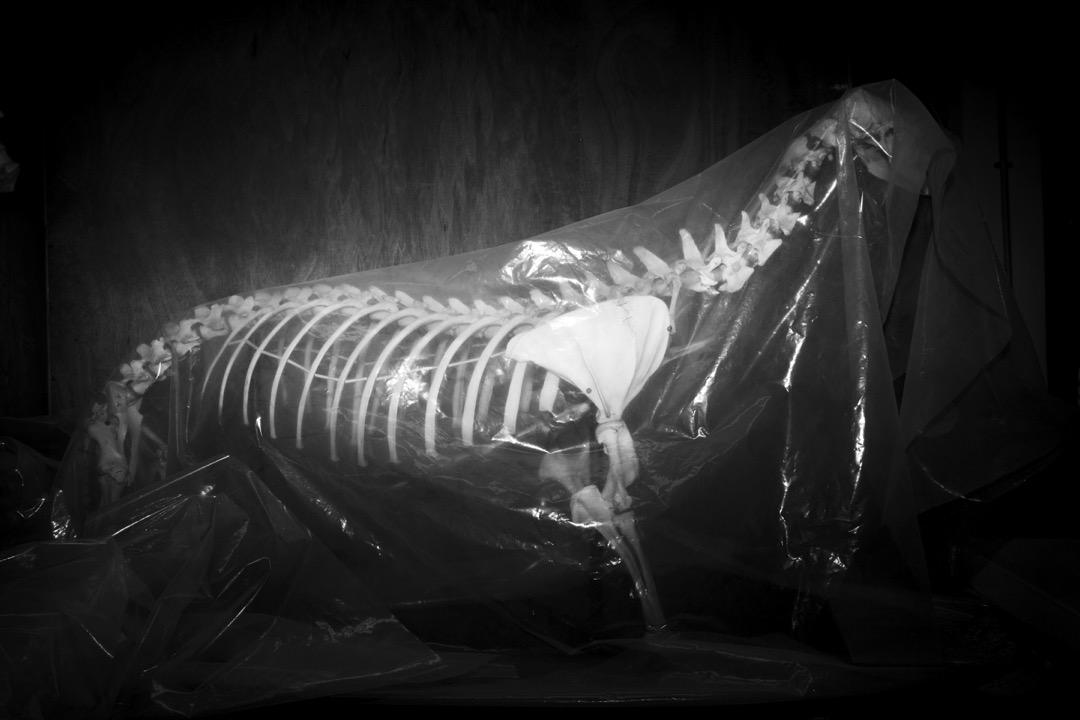 密封的透明塑膠袋裏有一具動物骨架。