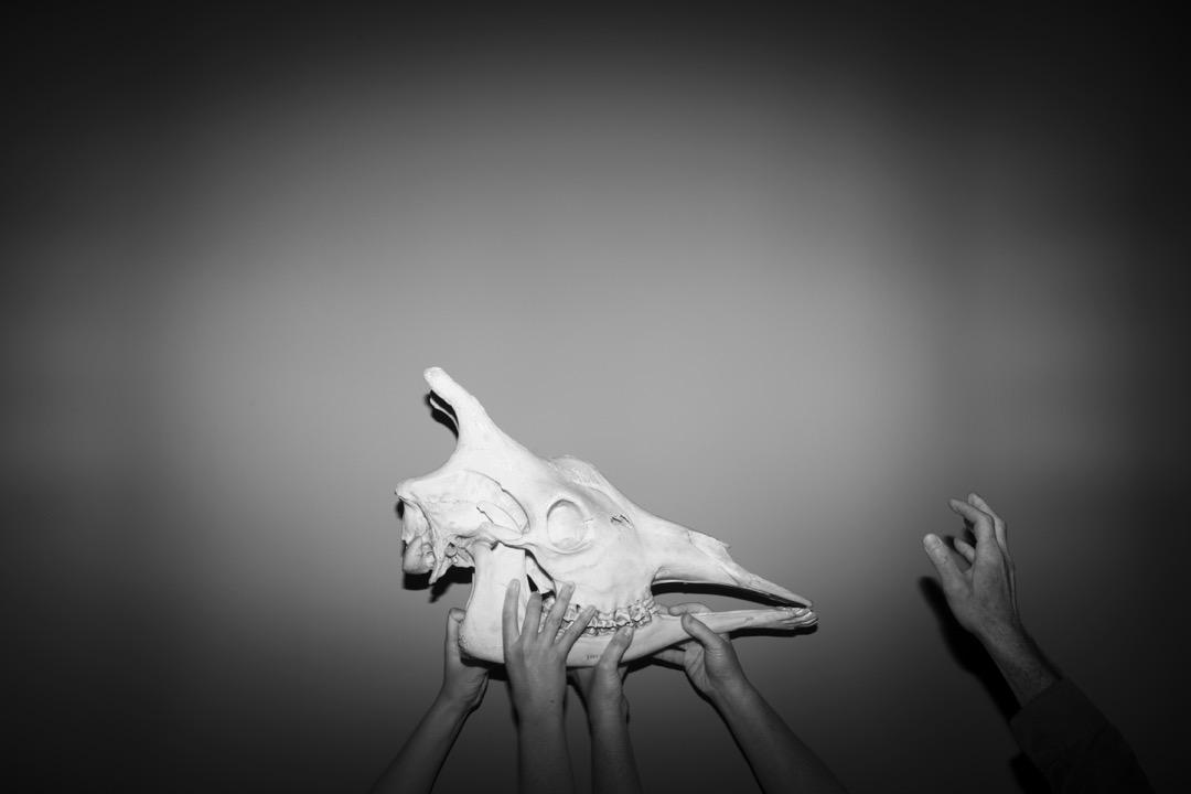展覽設計師正準備展出一個長頸鹿頭骨展品。