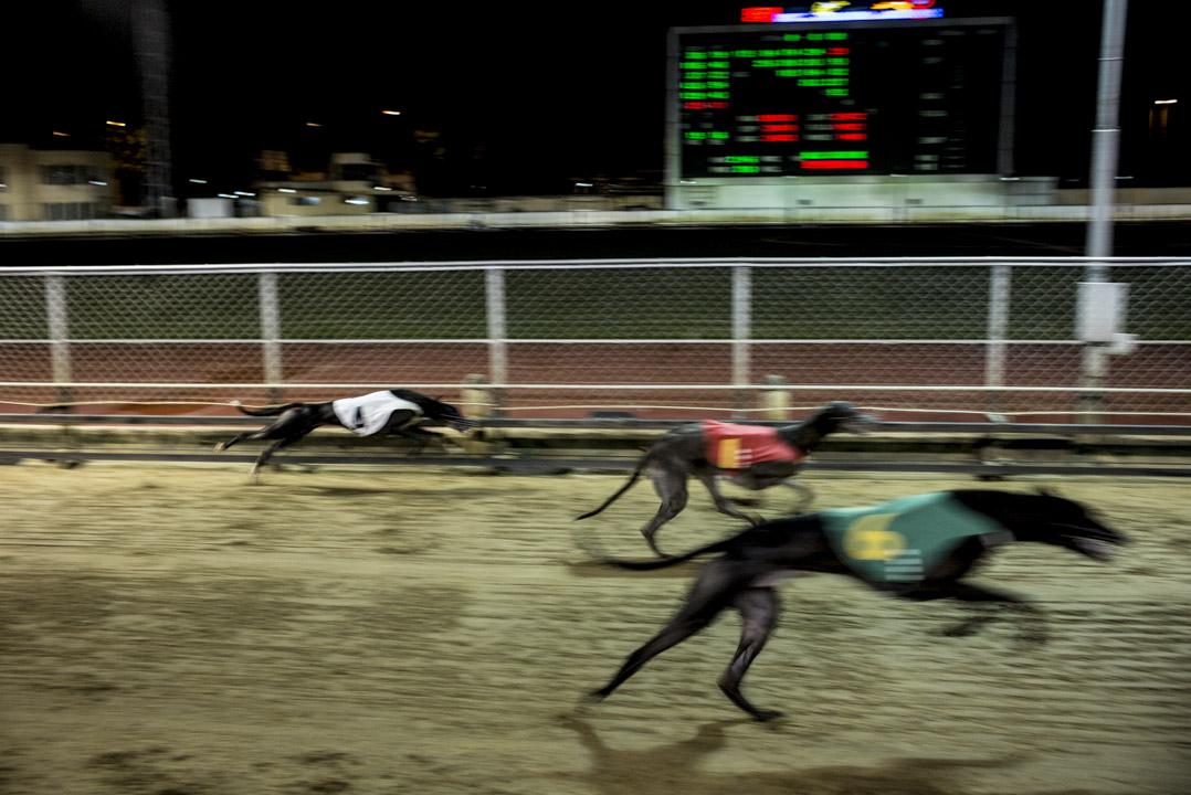作為陸上速度僅次於獵豹的哺乳類動物,格力犬四肢修長強壯,半分鐘就跑完一場賽場。