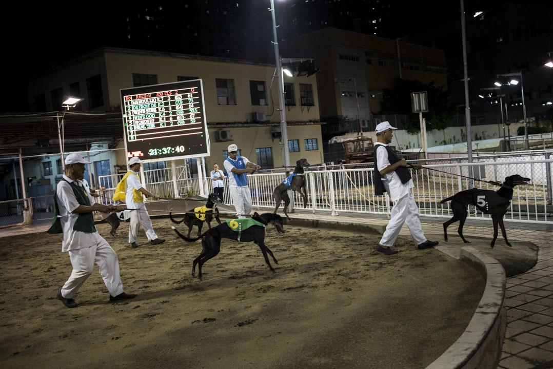 賽狗上場前會例行磅重,再由狗伕牽著,在沙圈亮相。