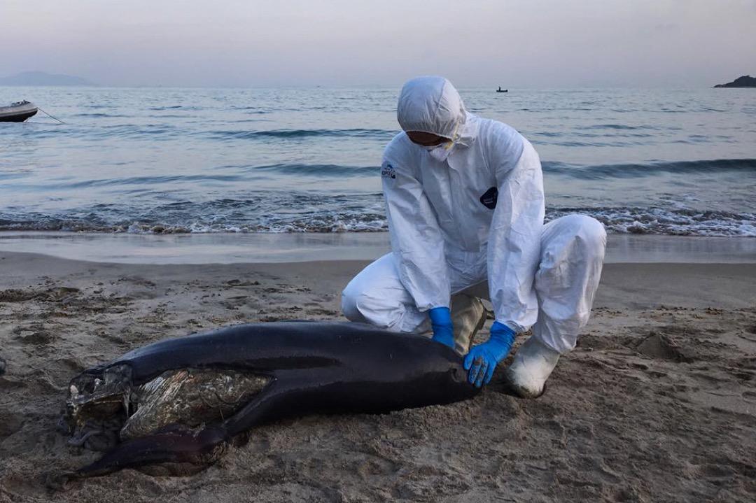 這隊由一位全職科學主任與二十位兼職保育助理組成的「鯨豚擱淺行動組」需隨時候命,一旦有市民報案,當值的成員就要出動,前往目的地尋找擱淺的鯨豚。圖為2018年5月,擱淺行動組在下長沙泳灘發現的江豚一屍兩命案件現場。 圖:受訪者提供