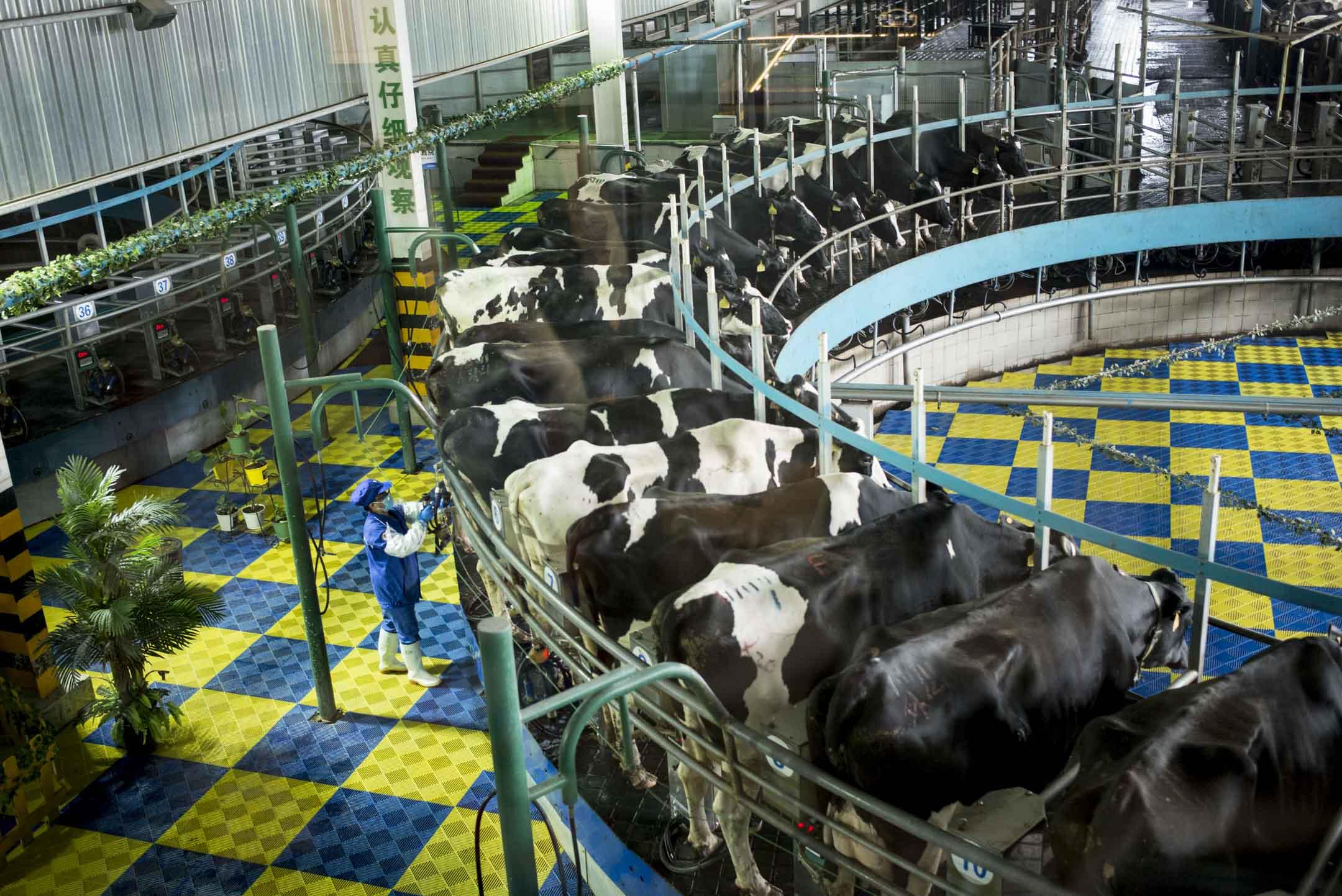 河北省石家莊市郊的君樂寶優致牧場,「訓練有素」的奶牛們正一個接一個站上擠奶轉盤。 攝:林振東/端傳媒