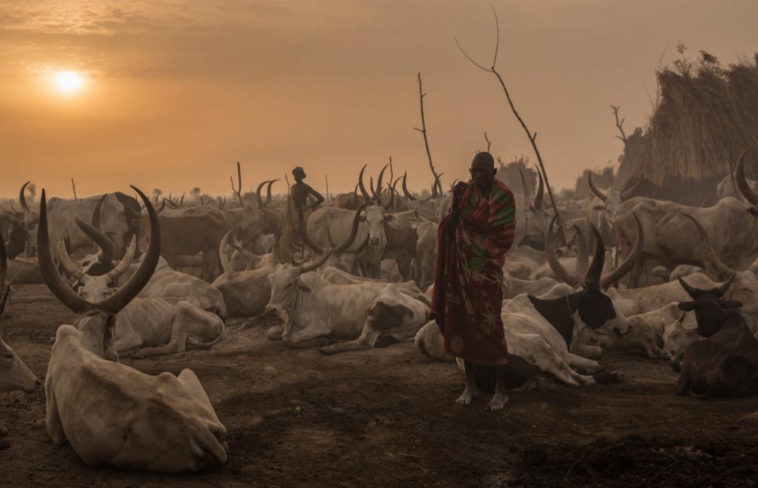 2018年3月3日,南蘇丹Mingkaman地區,一名丁卡族男子在清晨時分牧羊。每年12月到5月的旱季,居住在高地的牧者會遷居到更靠近尼羅河的低窪地區,確保他們的牛能夠吃到更有養分的草。