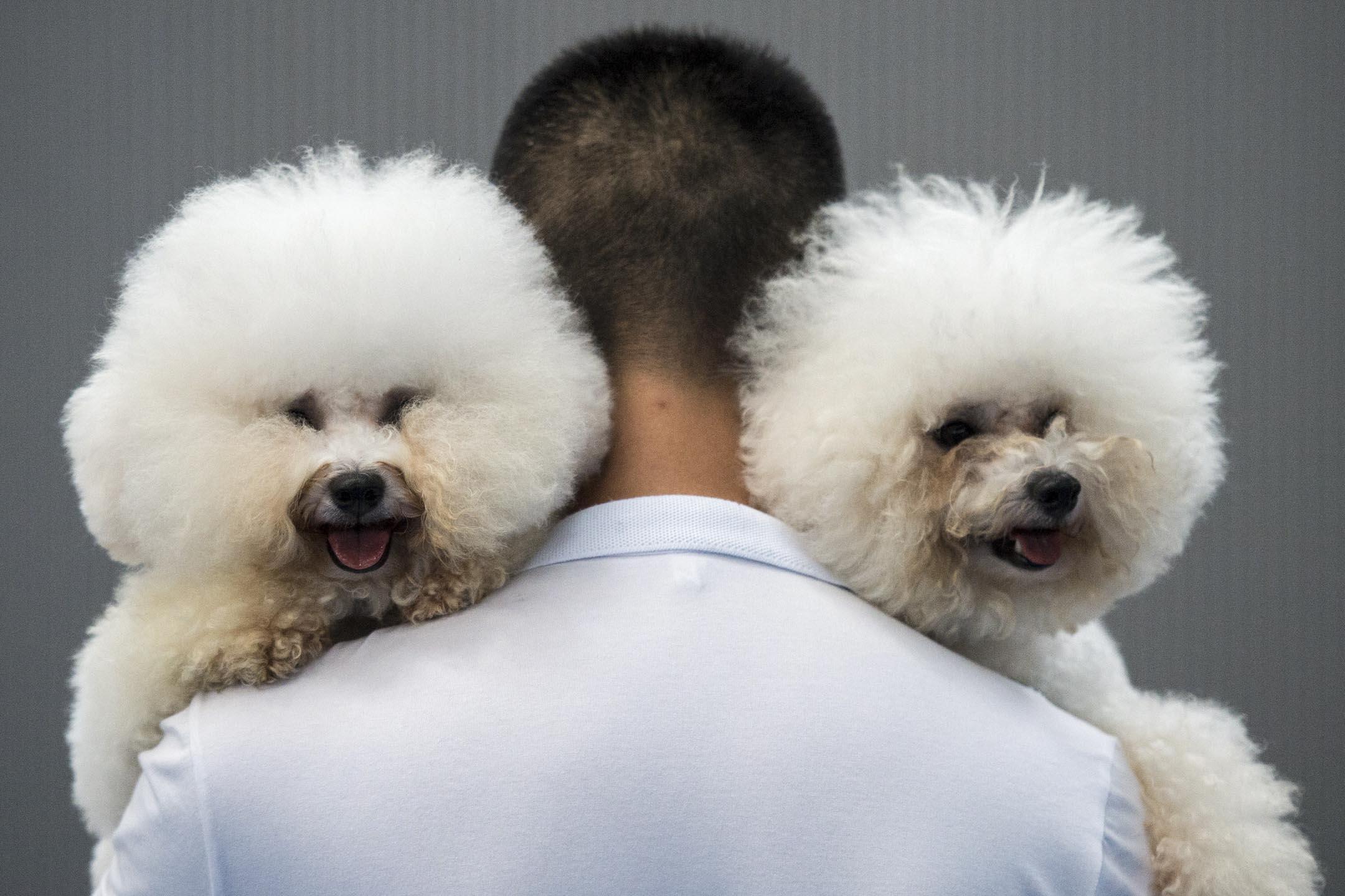 2018年11月,杭州啟動全市範圍內的「文明養犬」集中整治行動,打亂了養狗市民的生活節奏。緊隨杭州步伐,中國內地多個城市陸續開始實施限狗令,比起杭州的嚴苛程度有過之而無不及。圖為杭州一個關於狗的比賽活動上,一名男子手抱兩隻狗。 攝:Johannes Eisele/AFP/Getty Images