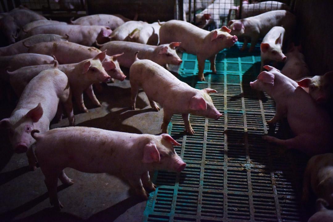 台灣農委會防檢局在旅客攜帶入境的中國肉製品驗出非洲豬瘟。 攝:Greg Baker/AFP via Getty Images
