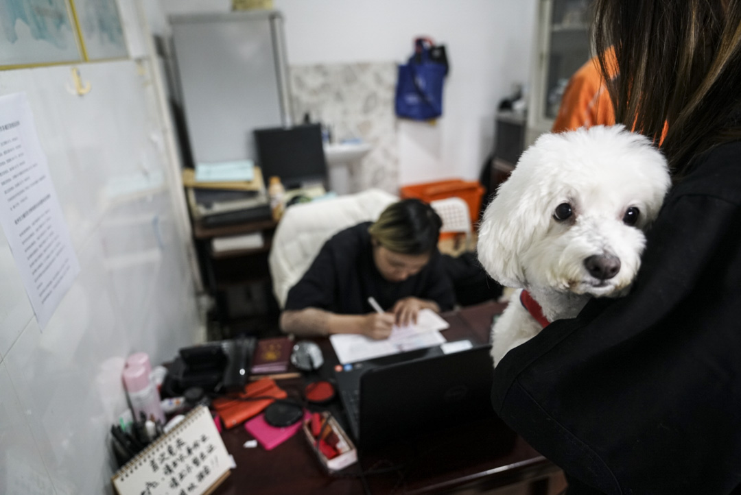 2018年11月18日,在杭州市下城區犬類免疫點,不少家長帶著自家狗狗來辦理「狗證」和接種犬用疫苗。