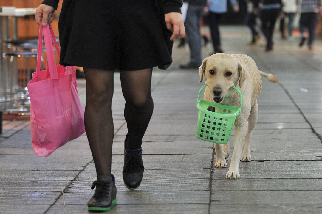 在中國內地的城市裏,遛狗不牽繩、狗便不清理,是司空見慣的景象。