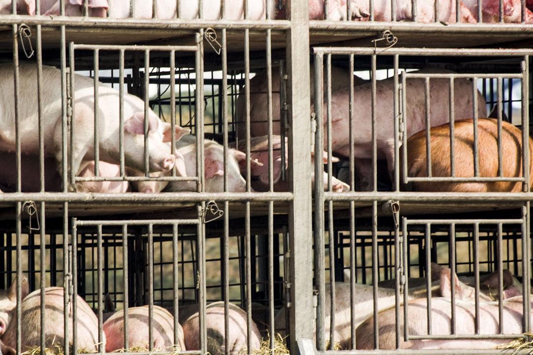 生豬長距離調運是疫情跨區域傳播的主要原因,圖為生豬在運輸途中。