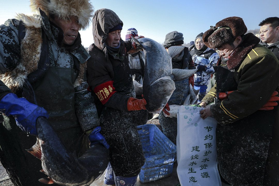 重達幾十斤的胖頭魚被裝入袋中。