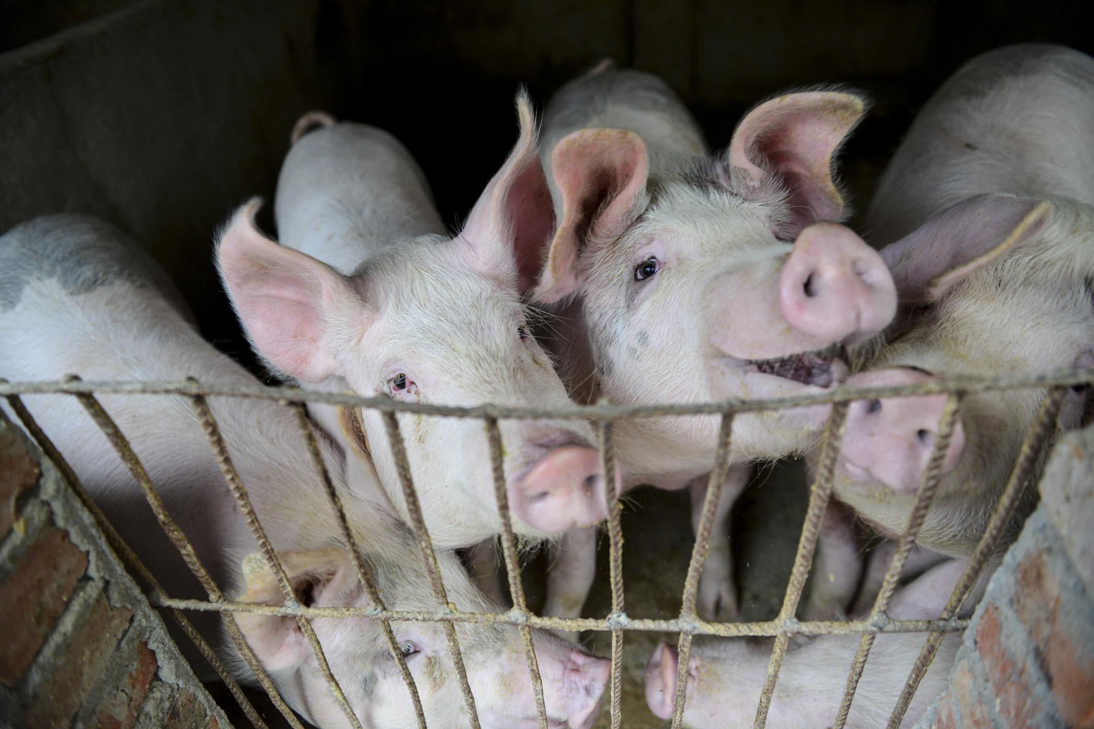 從2018年8月初,遼寧省發現中國首例非洲豬瘟疫情至今,已有22個省市區曝出總計104起非洲豬瘟疫情。圖為2018年12月5日,安徽一個農民的養豬場。 攝:VCG/VCG via Getty Images