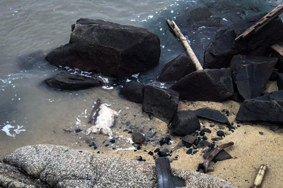 2019年1月4日,在金門烏坵鄉小坵島的海灘上發現死豬。