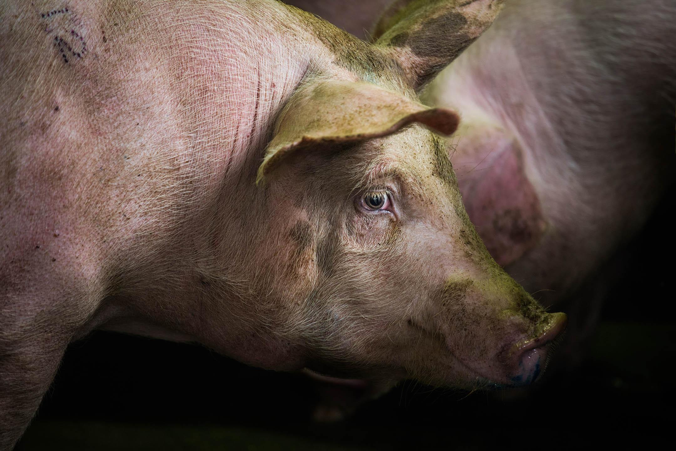 金門縣肉品市場待宰的豬。 攝:陳焯煇/端傳媒