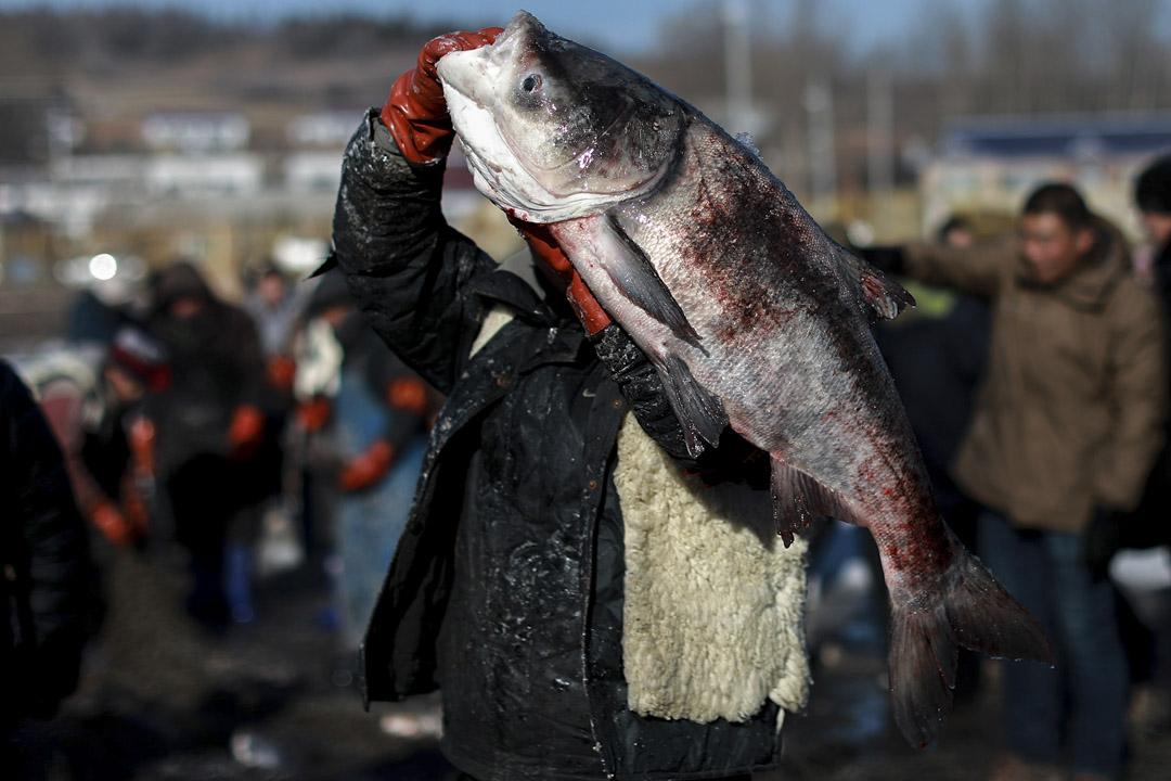參與冬捕的漁民舉起重達36斤的魚王。