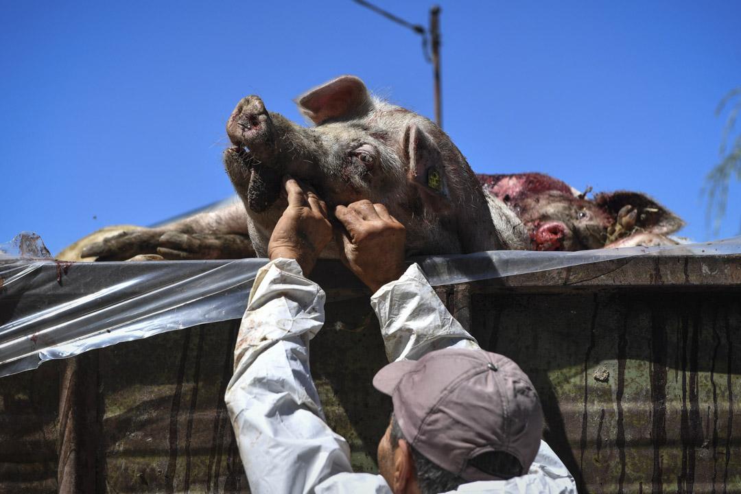 受非洲豬瘟感染的豬發病率和死亡率高達100%,目前還沒有有效的疫苗能保護⽣生豬不受病毒感染。圖熊2018年8月9日,羅馬尼亞一名穿着防護衣的男子在一隻感染而死的豬上進行檢測。