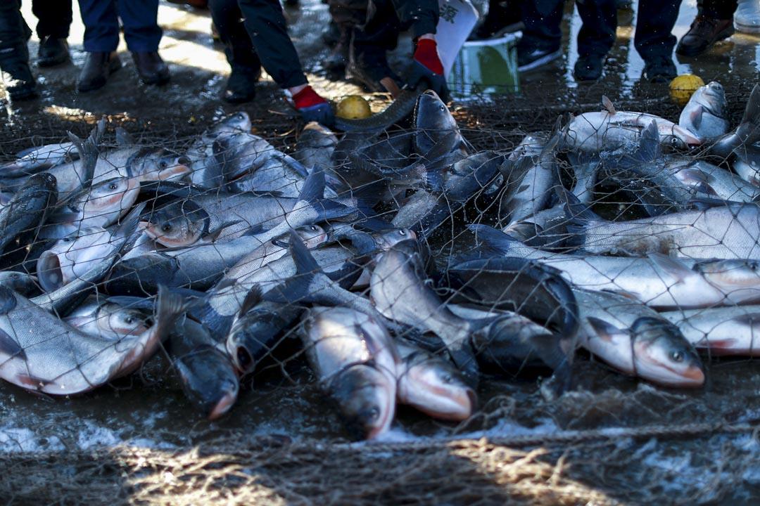漁網下捕獲的魚。