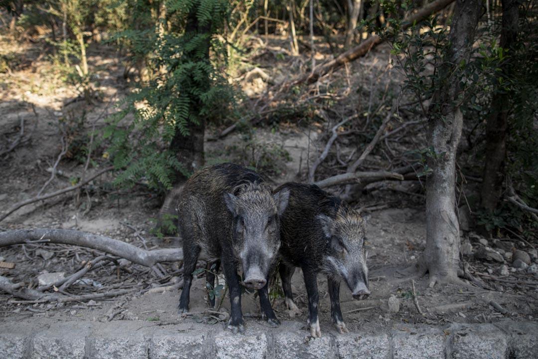 大年初三,兩隻野豬在黃竹坑深灣道出沒。