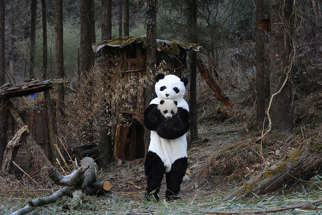2011年2月3日,中國四川卧龍國家級自然保護區,打扮成熊貓的工作人員在中國大熊貓保護研究中心抱著熊貓進行體檢。 圖:China Photos/Getty Images