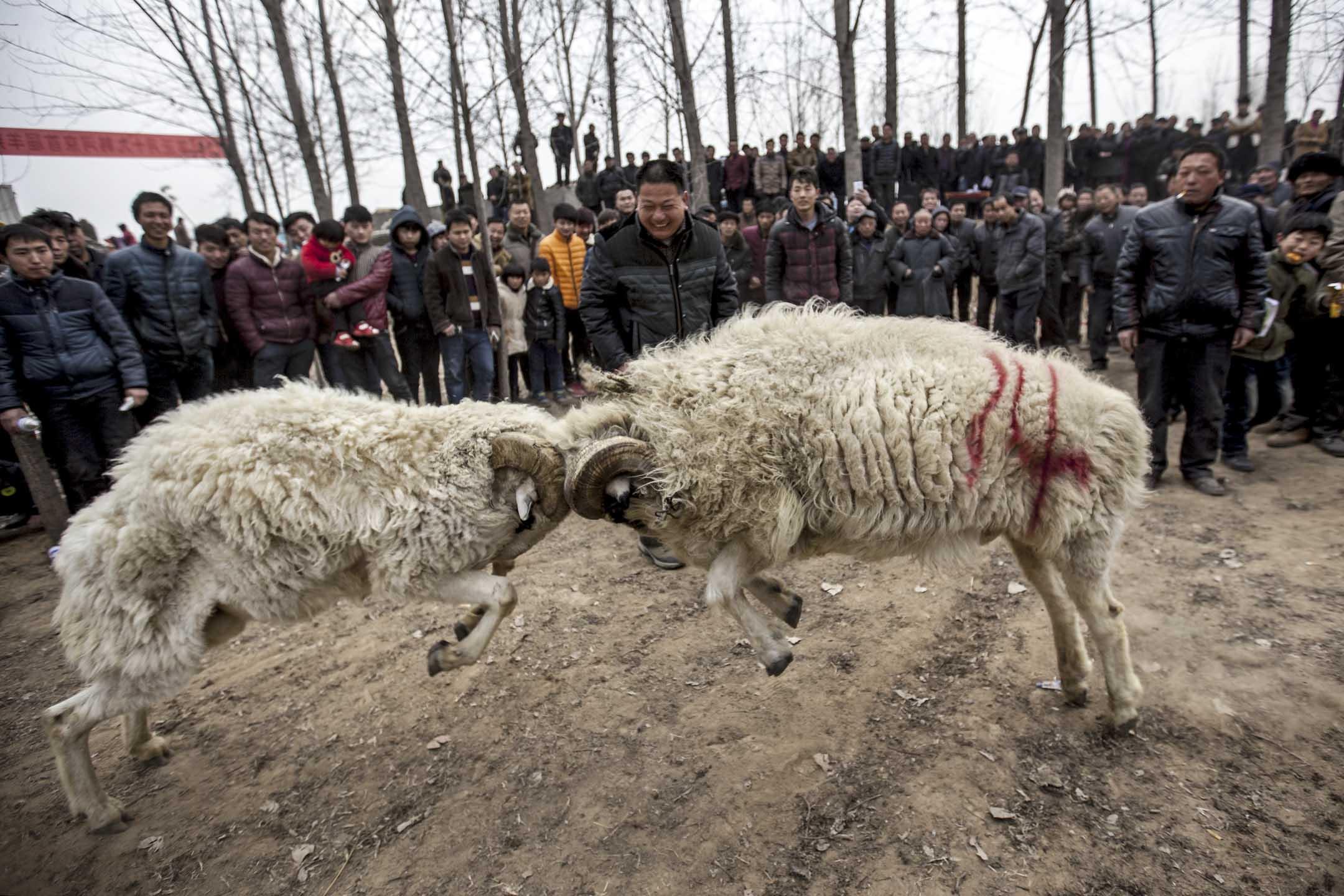 「薅羊毛,你以為是躺在床上賺錢,但其實眼睛一刻都不敢閉上。」這句話堪稱羊毛黨人的座右銘。這群人立志「只薅最好的,不買最貴的」,目標「吃幹榨盡這人間」。圖為人們觀看小羊決鬥。 攝:Feature China / Barcroft Media via Getty Images