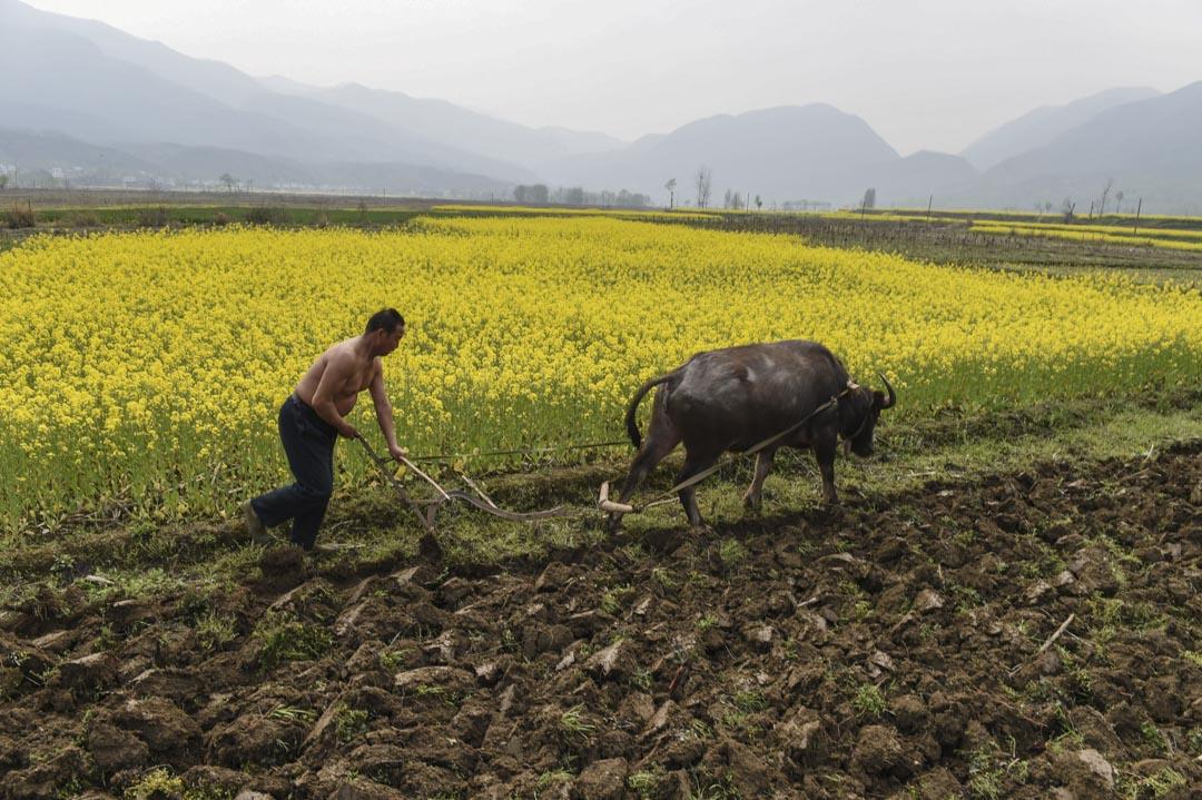 有推算中國農村光棍數量在2000萬左右,將這2000萬人口平均到中國68萬個行政村,每個村就有近30個光棍。圖為一名男子在一個農場耕種。