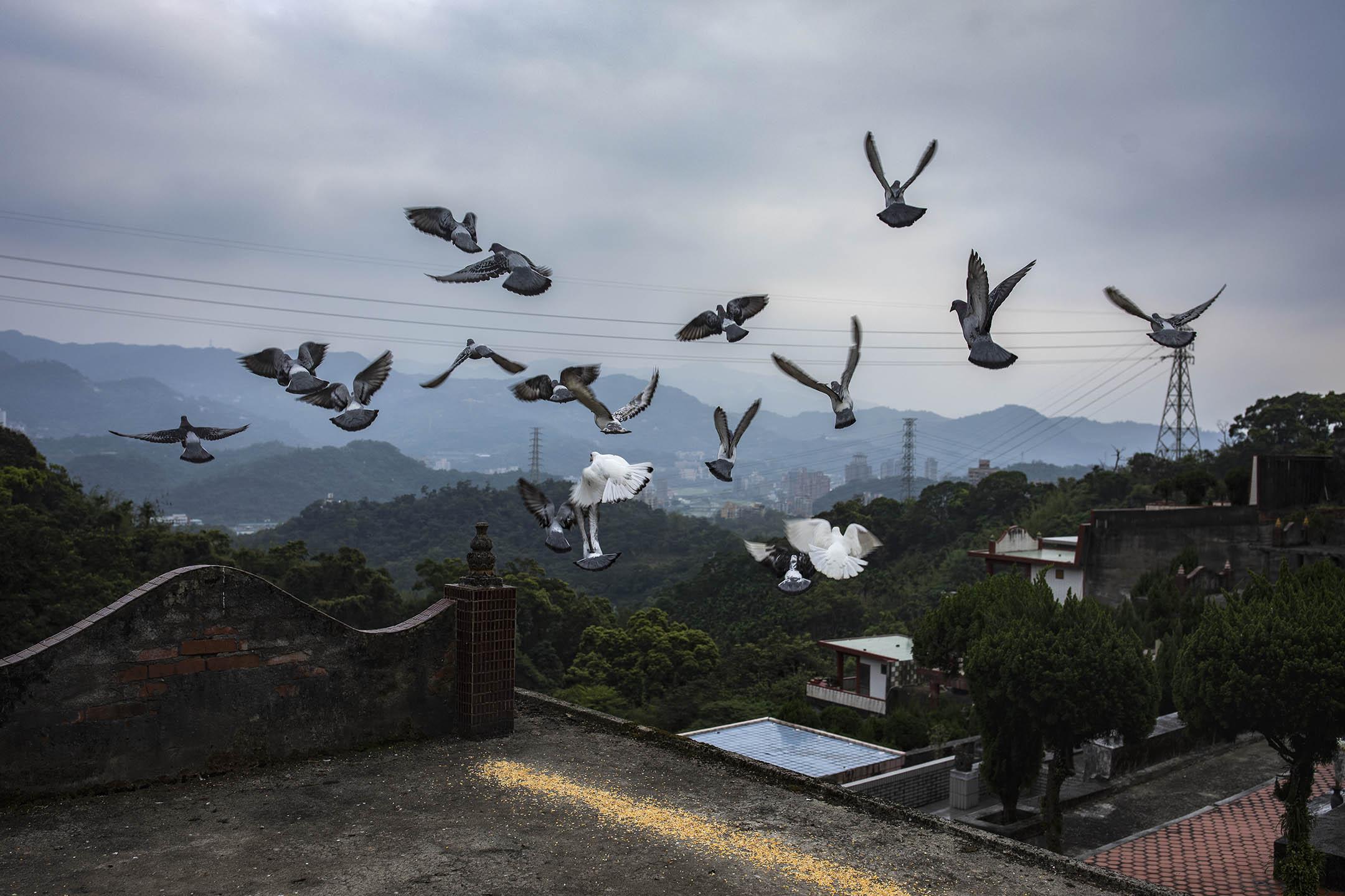 2019年4月6日,台灣富德公墓內的一群鴿子。 攝:陳焯煇/端傳媒