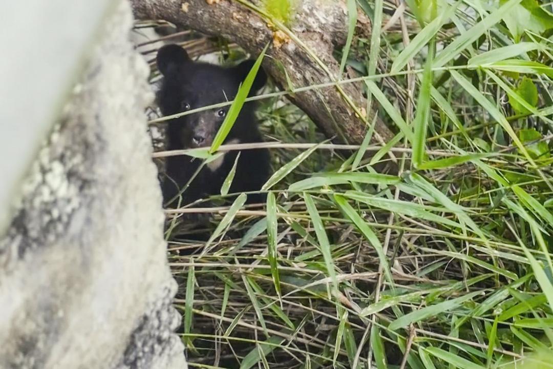 南安小熊是台灣第一起,和媽媽走失生命垂危而落入「人間」的熊。 圖片來源:台灣黑熊保育協會