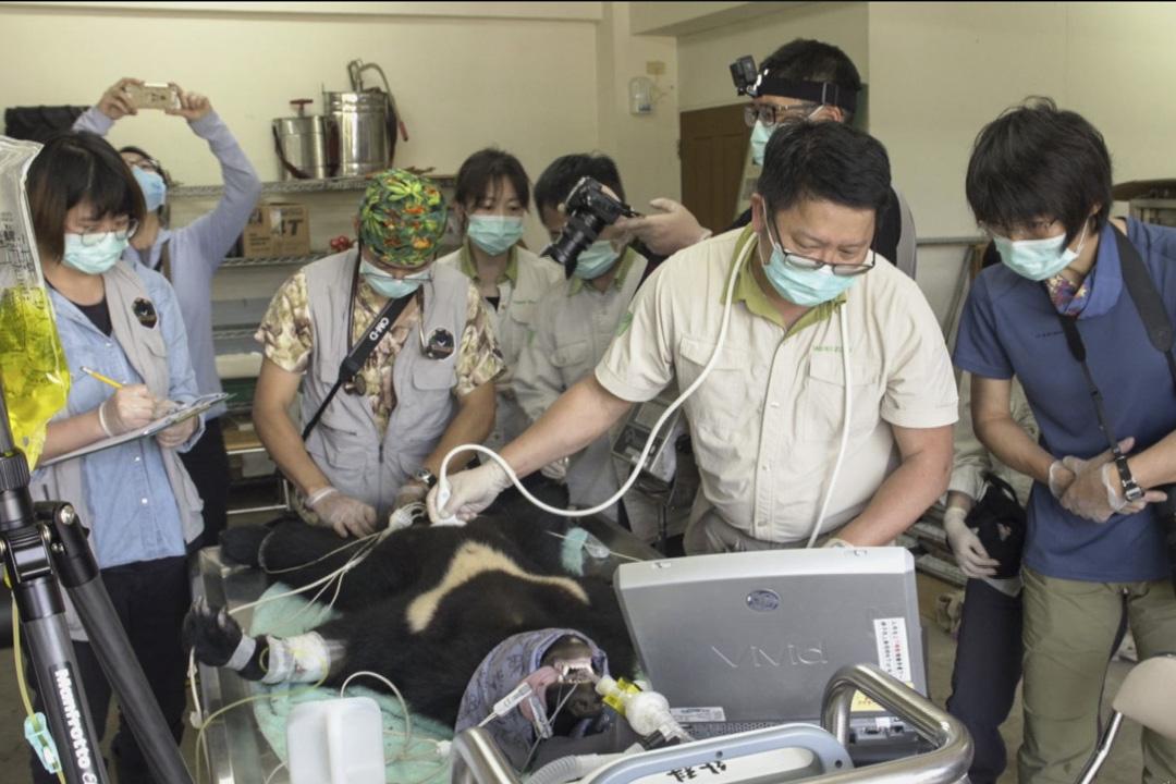 四月初野訓團隊替小熊進行第五次健康檢查,台北市立動物園的獸醫團隊,特別前來支援。