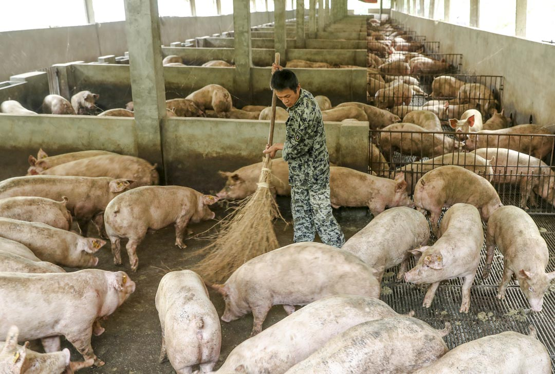 2019年8月9日,中國四川省廣安市,一名工作人員在清理養豬場的豬圈。