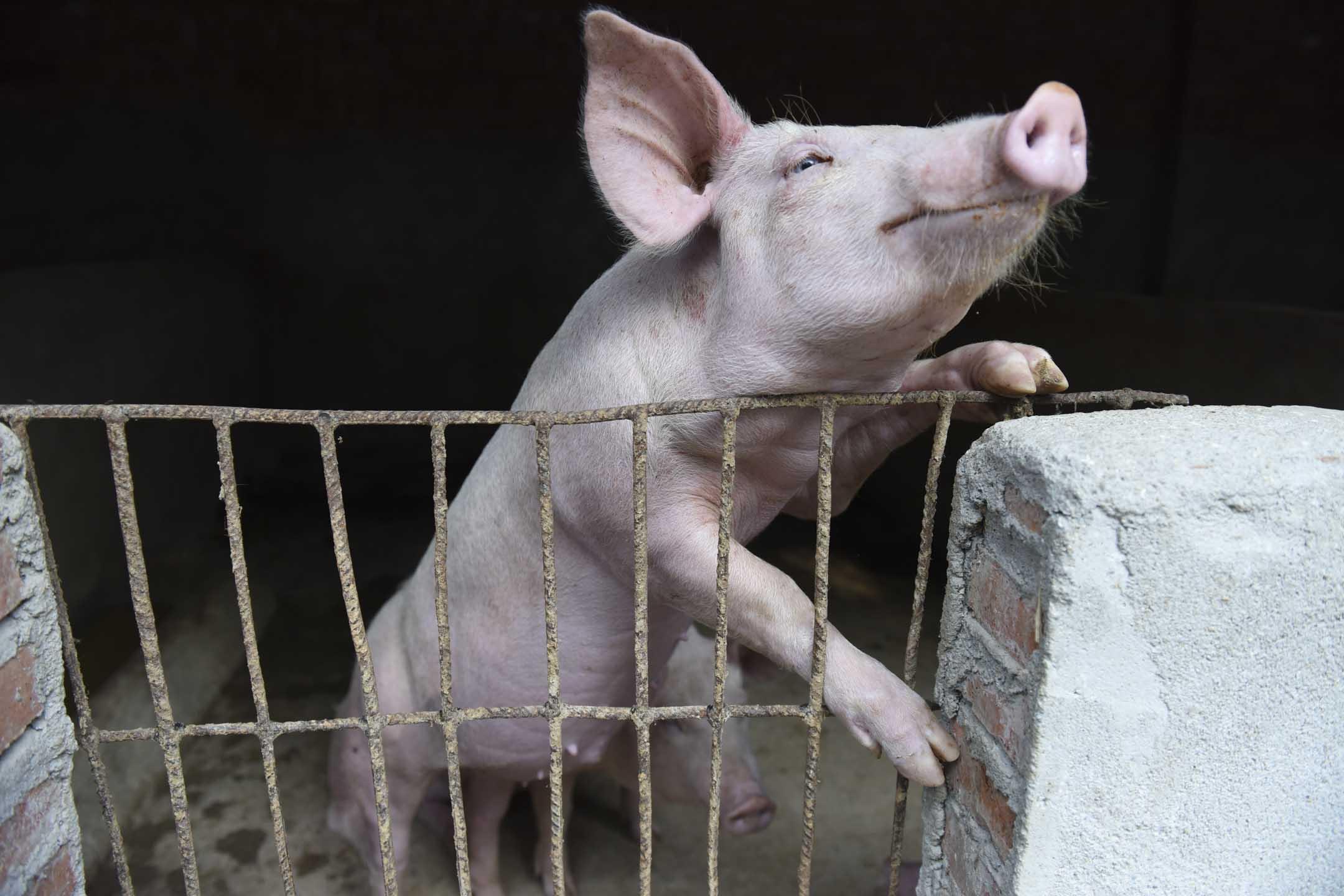 依照2018年末中國生豬存欄4.2億頭的官方數據來算,2019年年中,全國養殖場裏累計少了一億頭生豬。  攝:An Ming / Barcroft Media via Getty Images