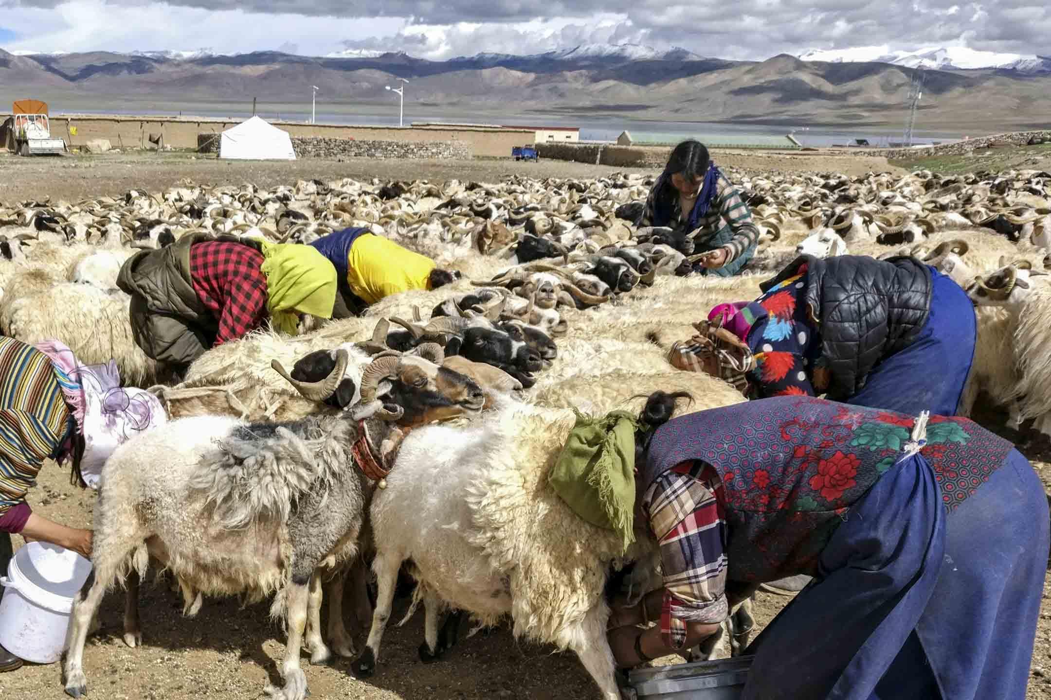 社員們在放牧點上擠羊奶。 圖:受訪者提供
