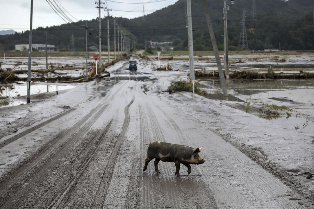 2019年10月14日,一頭豬在宮城縣丸森市水災地區的一條道路上行走。