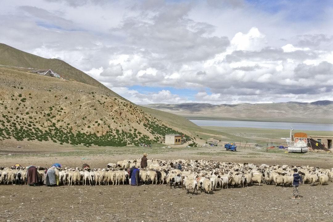 嘎措的羊群。