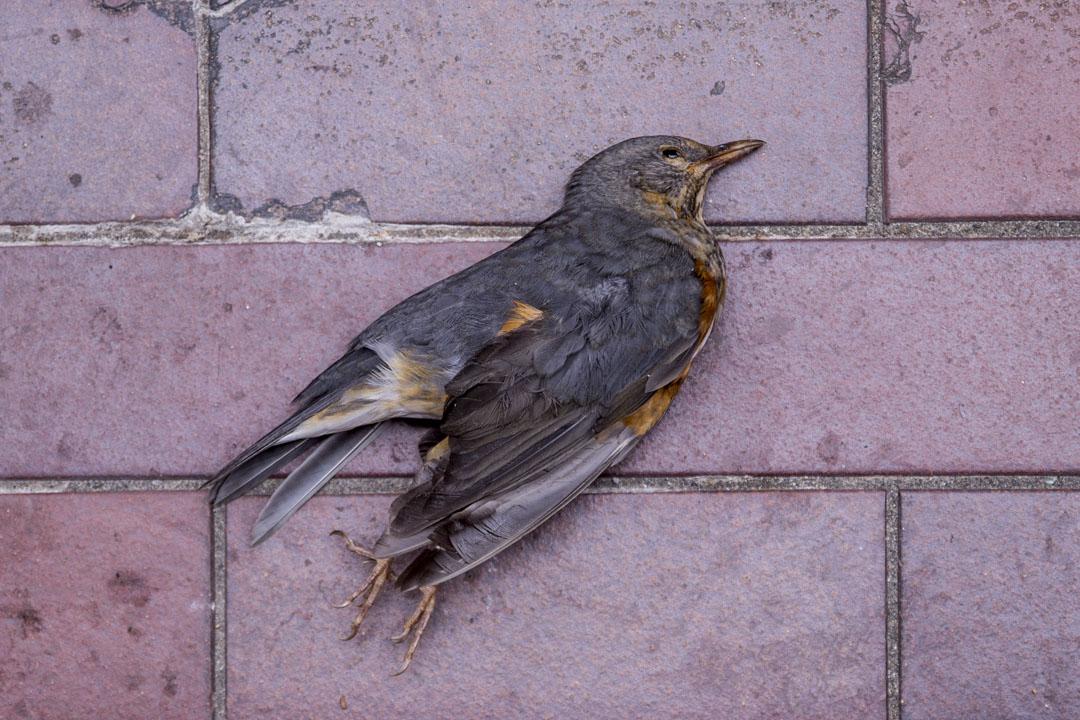 2019年11月20日,理大校園內一隻死去的鳥。