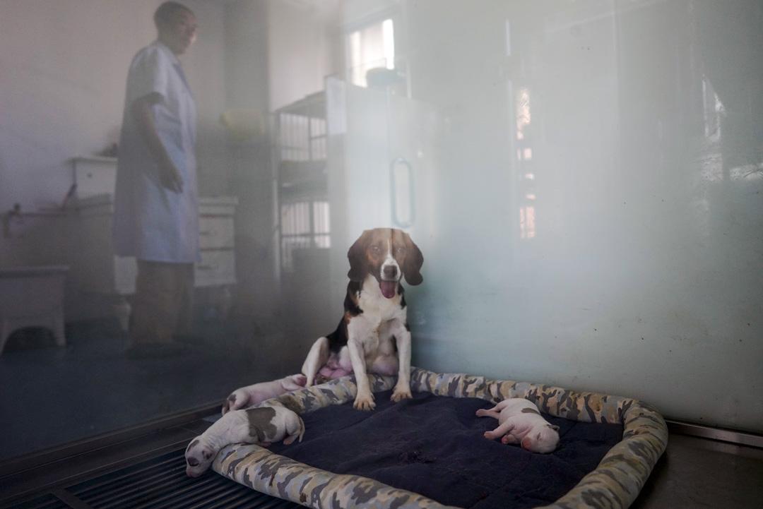 希諾谷裏的代孕犬。