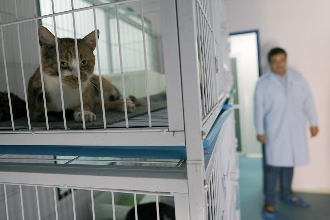 希諾谷也有克隆貓的服務,圖為代孕母貓。