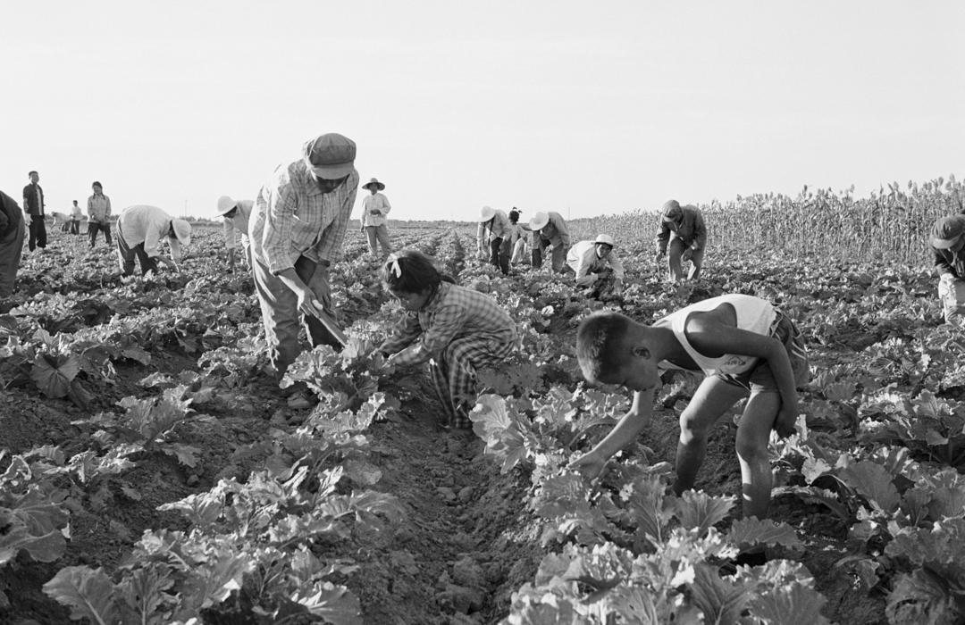 中國1960年代位於大慶的農業生產中心,村民們正在替農作物除蟲。
