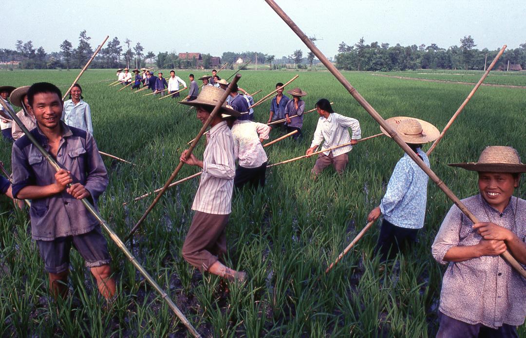 1979年四川省一個稻田,農民們正在工作。
