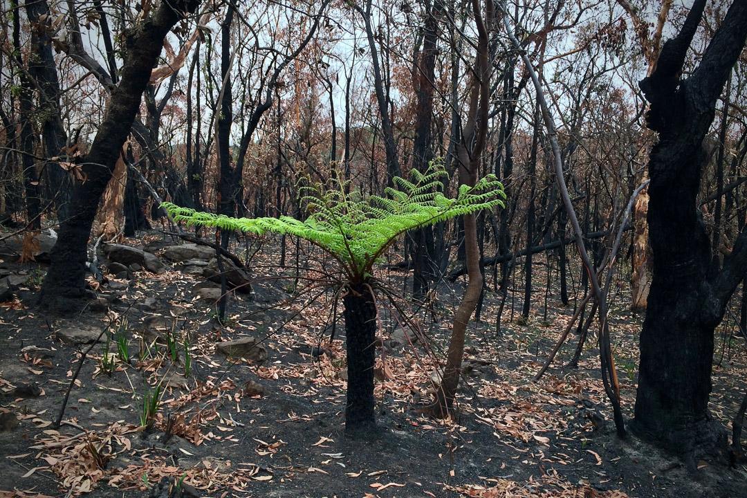 大火熄滅後,藍山國家公園裡的一棵小樹。