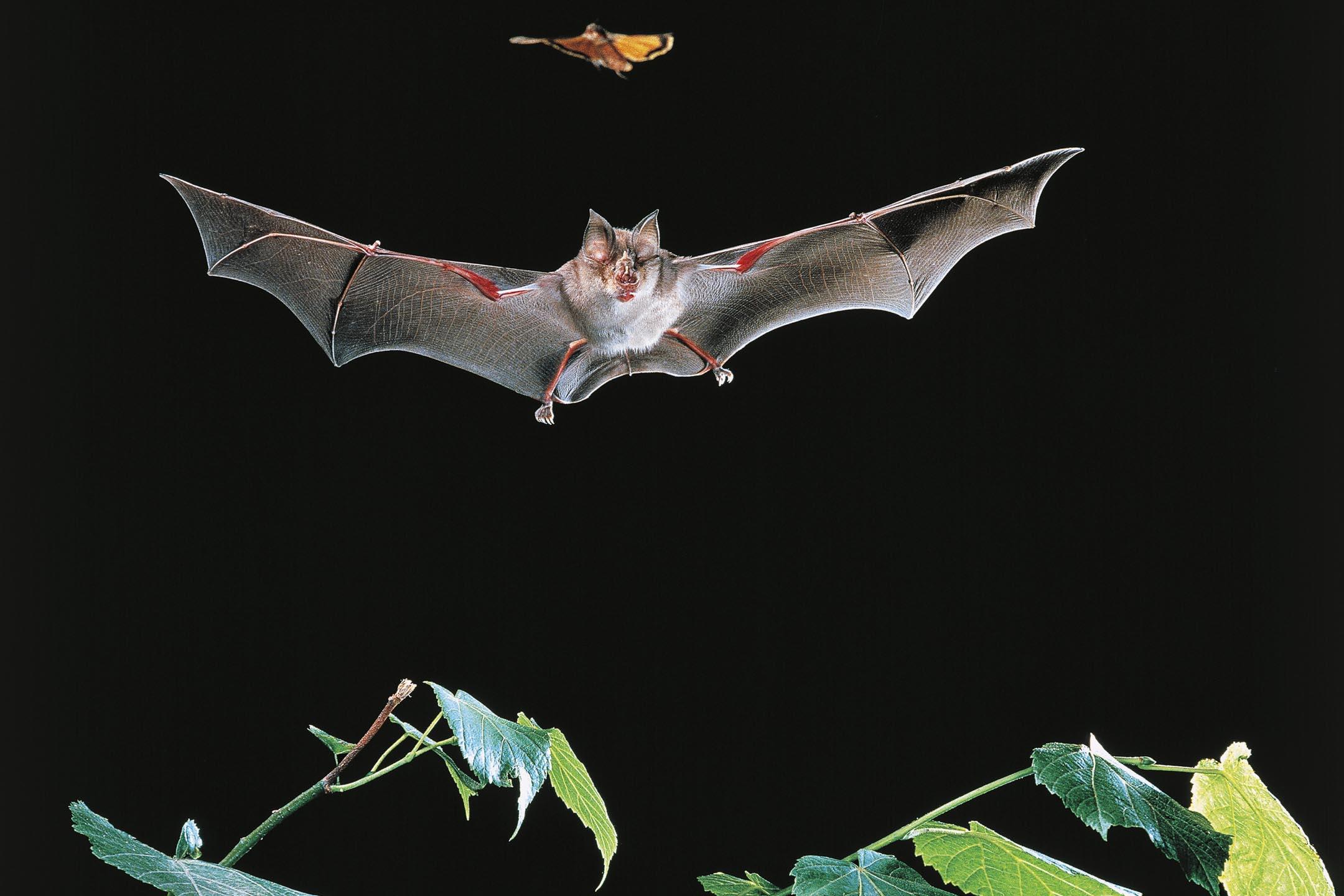 蹄鼻蝙蝠(horseshoe bats)。