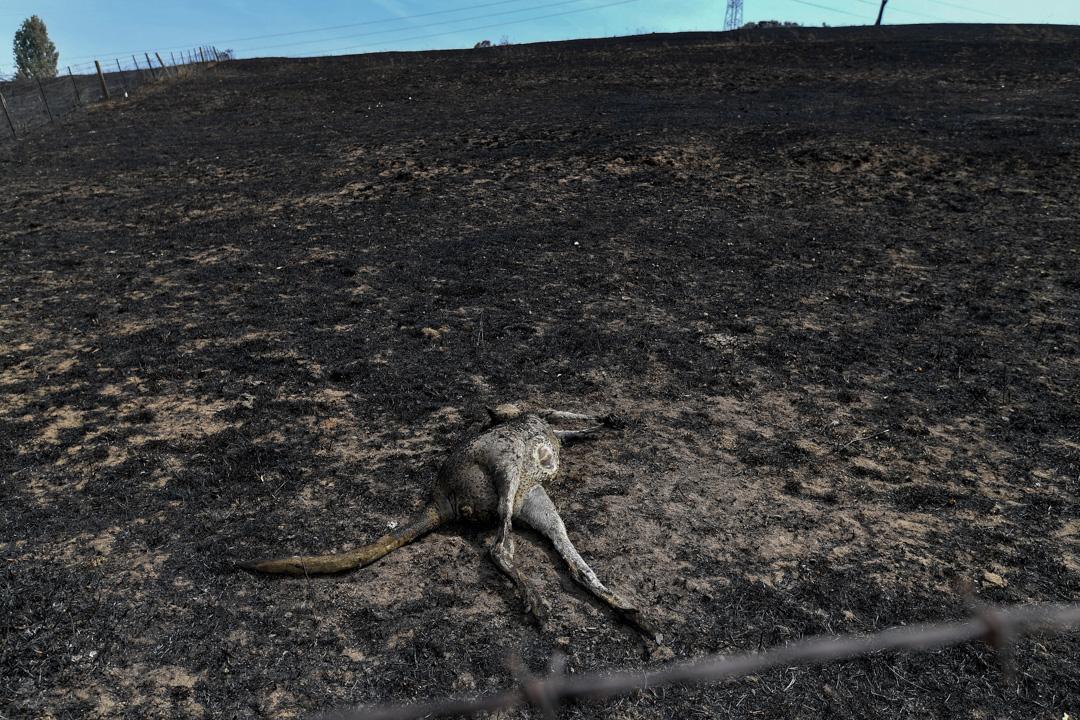 2020年1月8日,在澳洲新南威爾斯州,一隻袋鼠於大火中喪生。