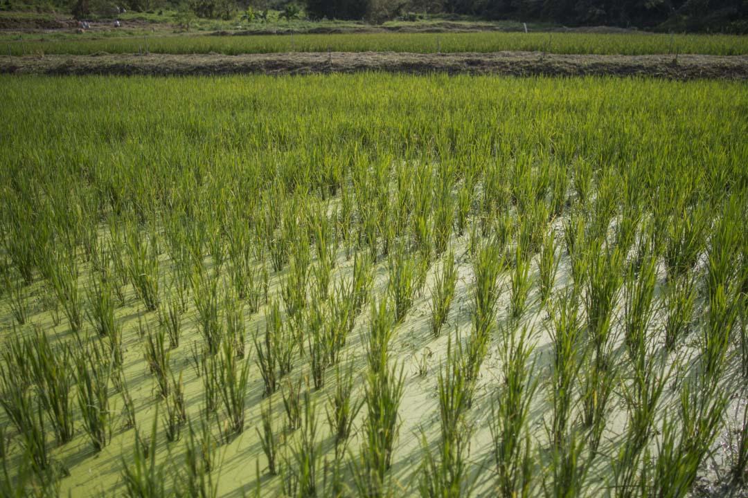 2018年11月,大嶼山二澳的一塊水稻田。