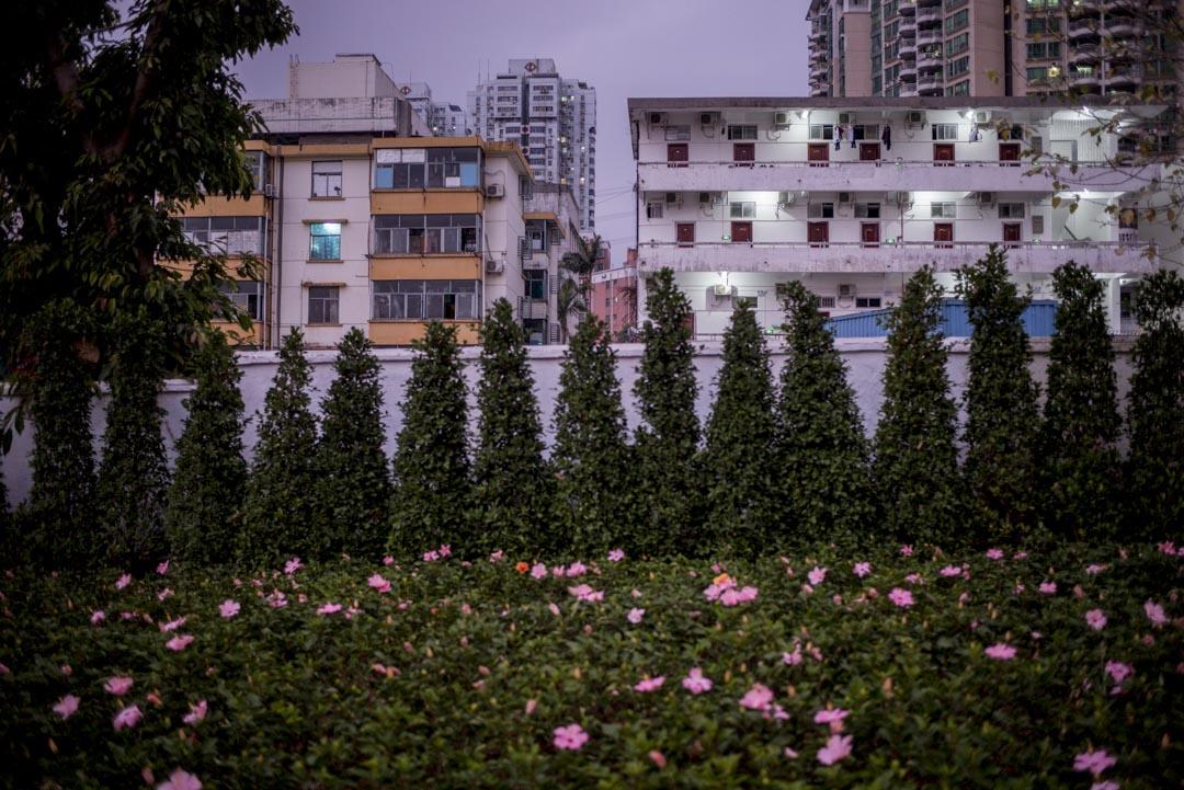 深圳,花叢後的民房。