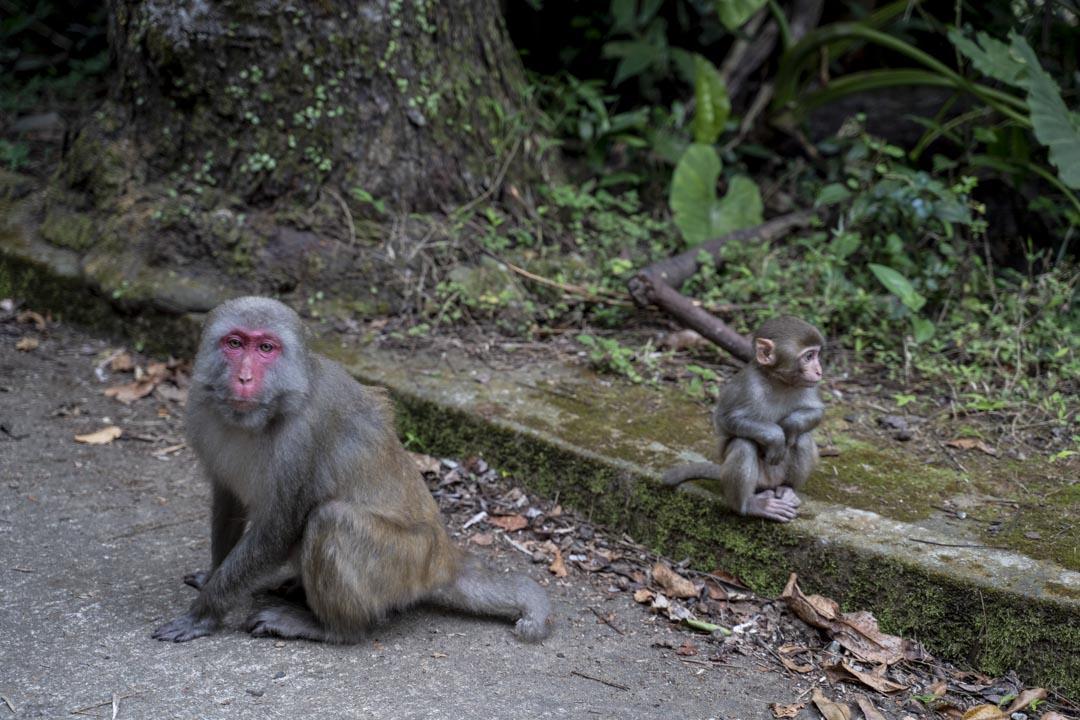 2020年3月8日,城門水塘的猴子。