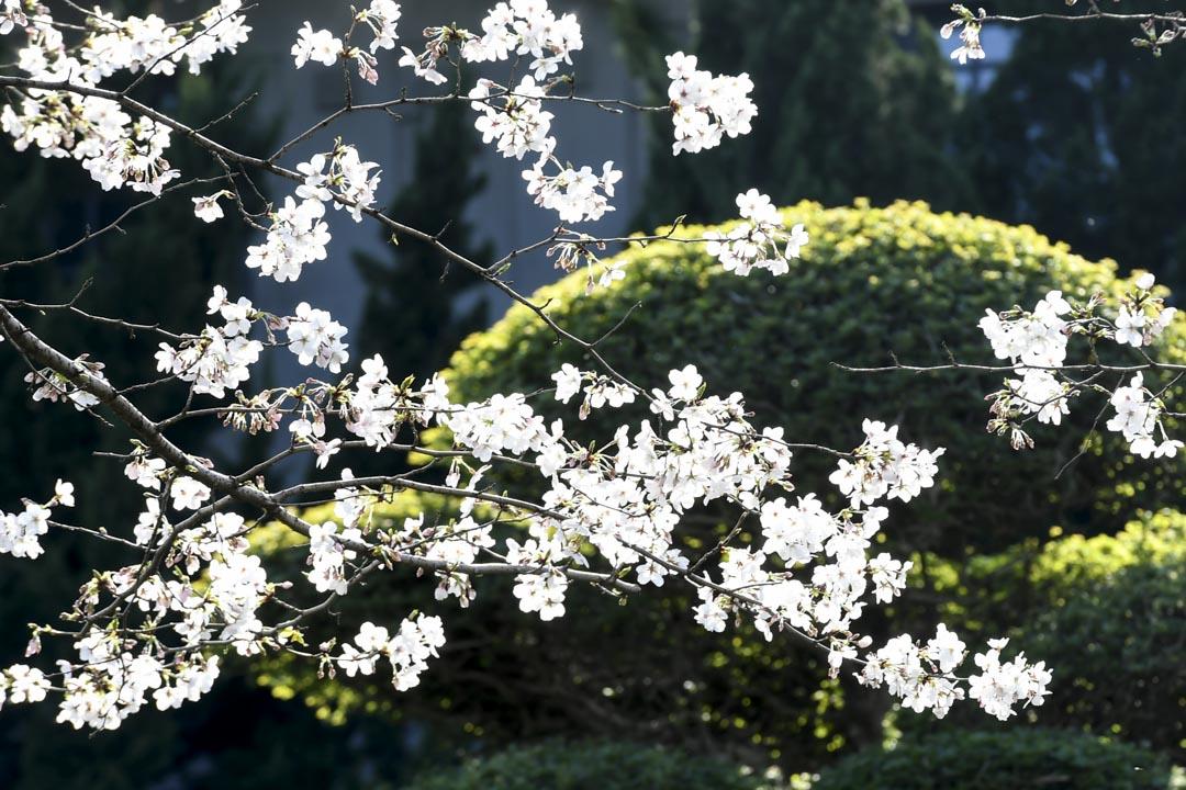 2020年3月18日,武漢大學櫻花盛開。