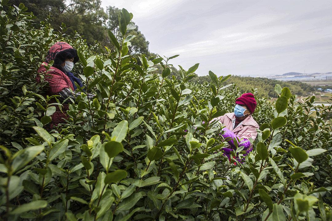 2020年2月16日浙江省寧波市北侖區,採茶工正忙着搶摘茶葉。